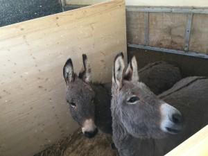 Zwei junge Esel..